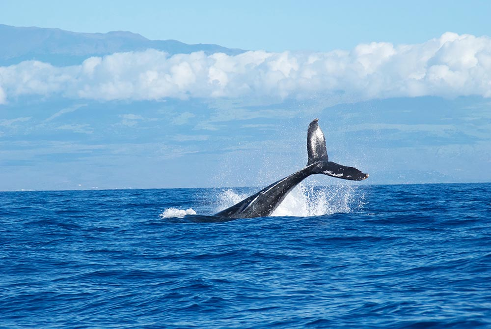 Las ballenas nunca olvidan (pero el cambio climático puede despistarlas)