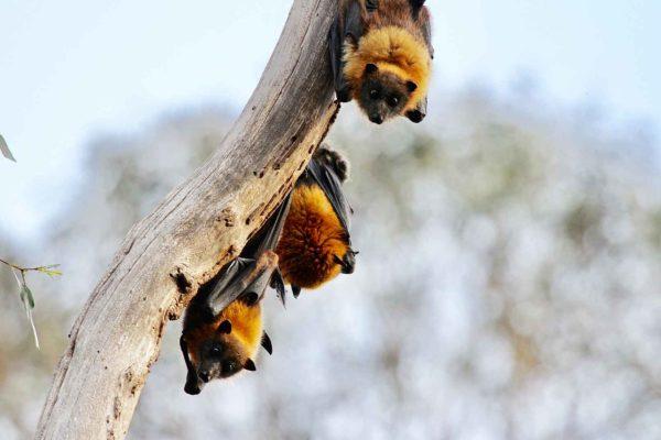 La rabia, el ébola, el SARS… ¿Por qué son los murciélagos el origen de tantos virus letales para los humanos?